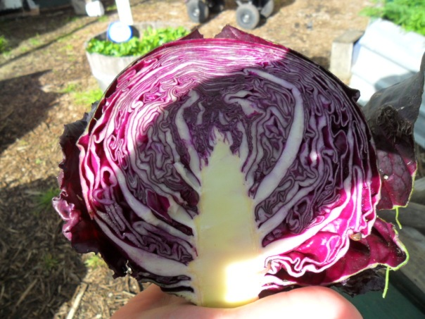 Freshly cut red cabbage